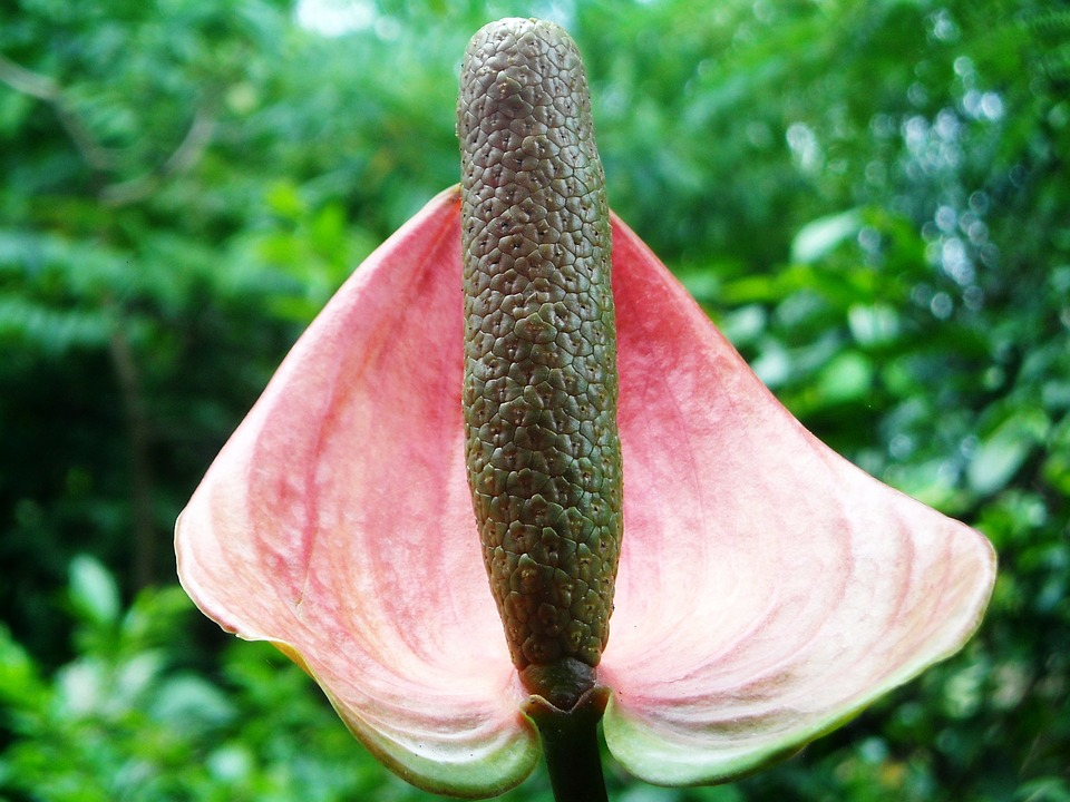 anthurium-crystallinum